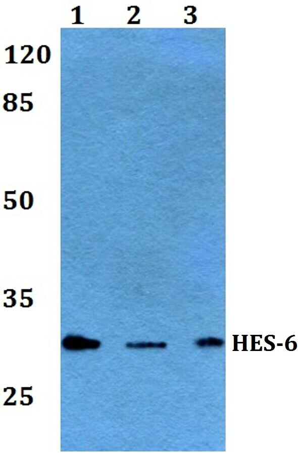 HES6 Antibody (PA5-36278) in Western Blot