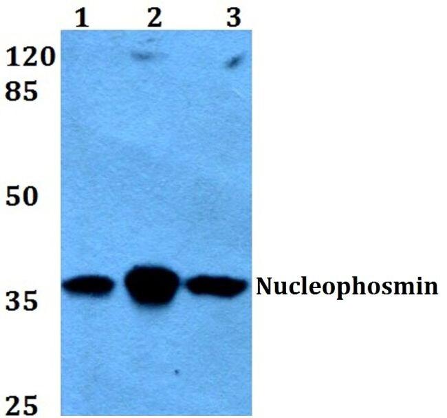 NPM1 Antibody (PA5-36279) in Western Blot