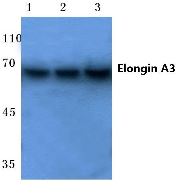 ELOA3 Antibody (PA5-36299) in Western Blot