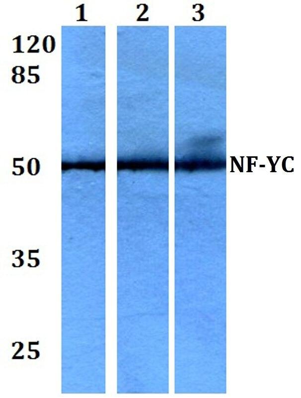 NFYC Antibody (PA5-36303) in Western Blot