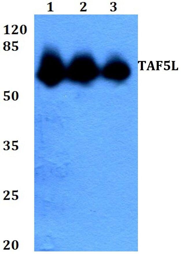 TAF5L Antibody (PA5-36309) in Western Blot