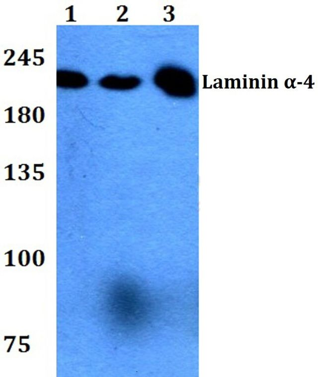 Laminin alpha-4 Antibody (PA5-36336) in Western Blot
