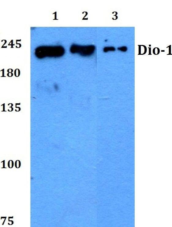 DIO1 Antibody (PA5-36337) in Western Blot