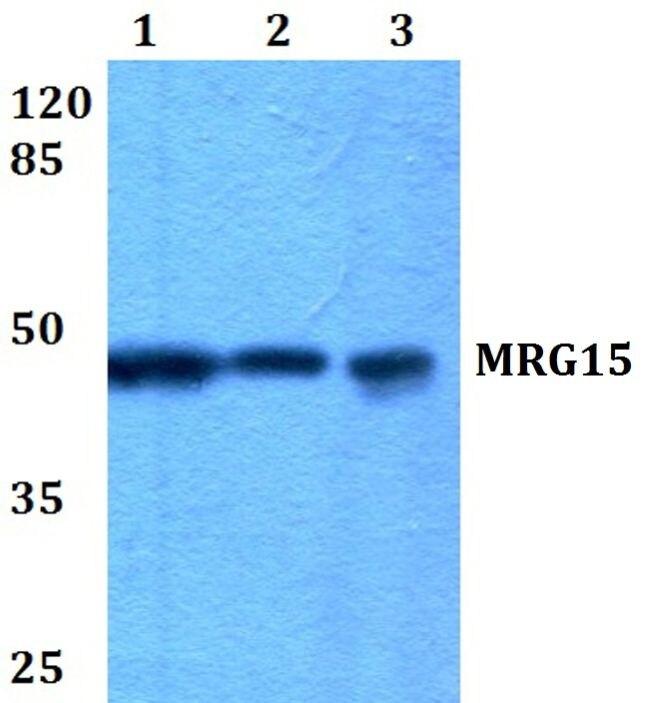 MRG15 Antibody (PA5-36361) in Western Blot