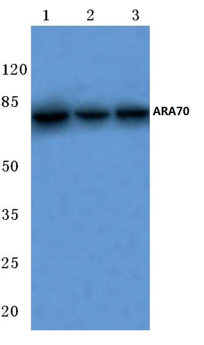 NCOA4 Antibody (PA5-36391) in Western Blot