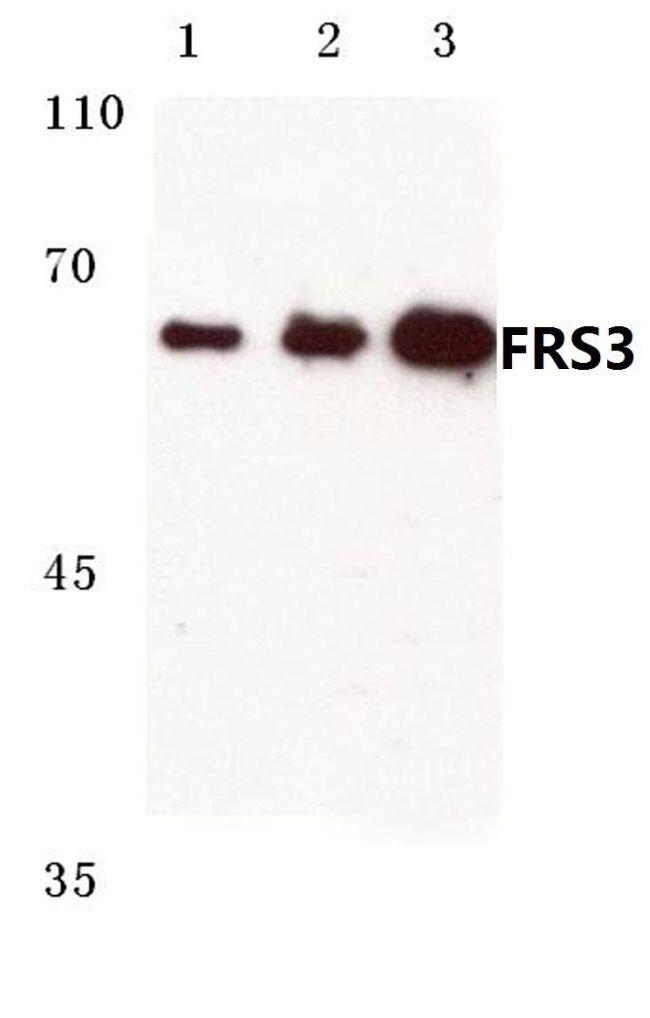 FRS3 Antibody (PA5-36403)