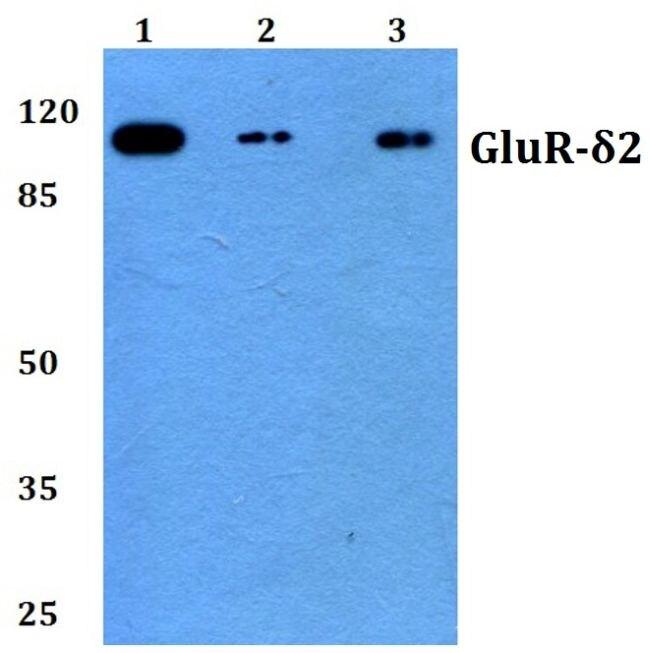 GRID2 Antibody (PA5-36405) in Western Blot