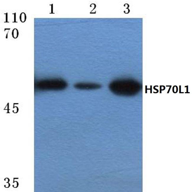HSPA14 Antibody (PA5-36406)