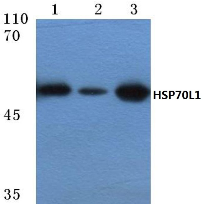 HSPA14 Antibody (PA5-36406) in Western Blot