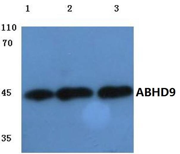 ABHD9 Antibody (PA5-36418) in Western Blot