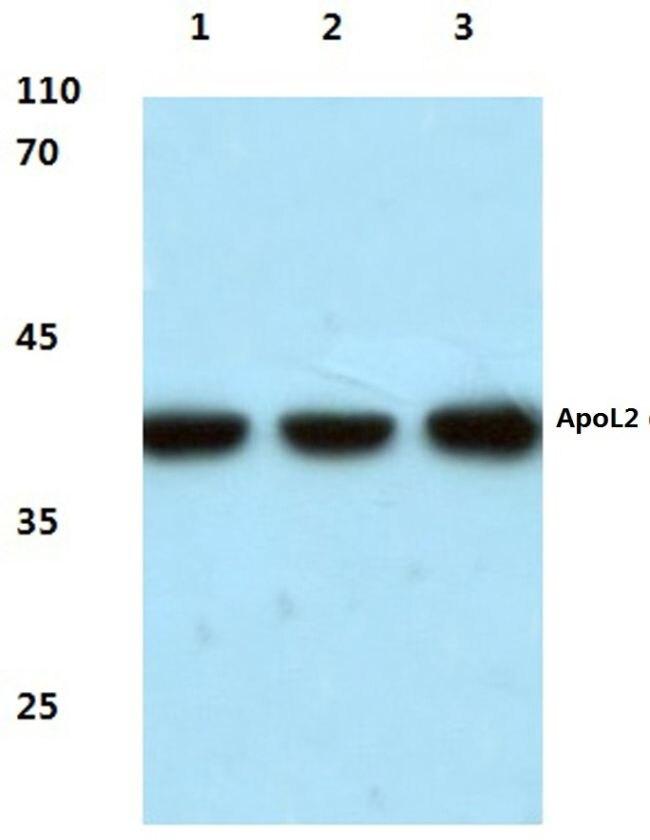 Apolipoprotein L2 Antibody (PA5-36425) in Western Blot
