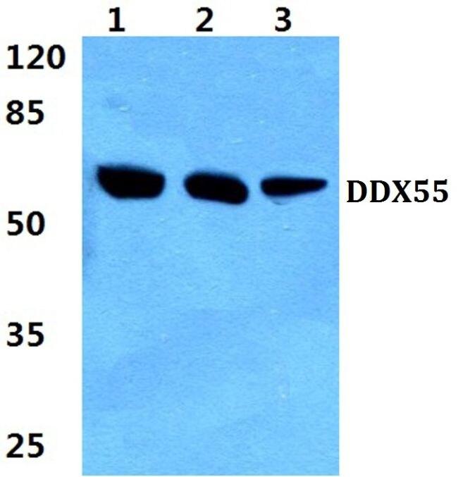 DDX55 Antibody (PA5-36431) in Western Blot