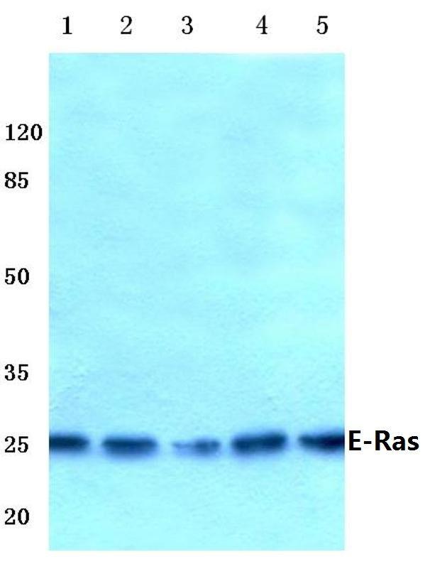 ERAS Antibody (PA5-36459) in Western Blot