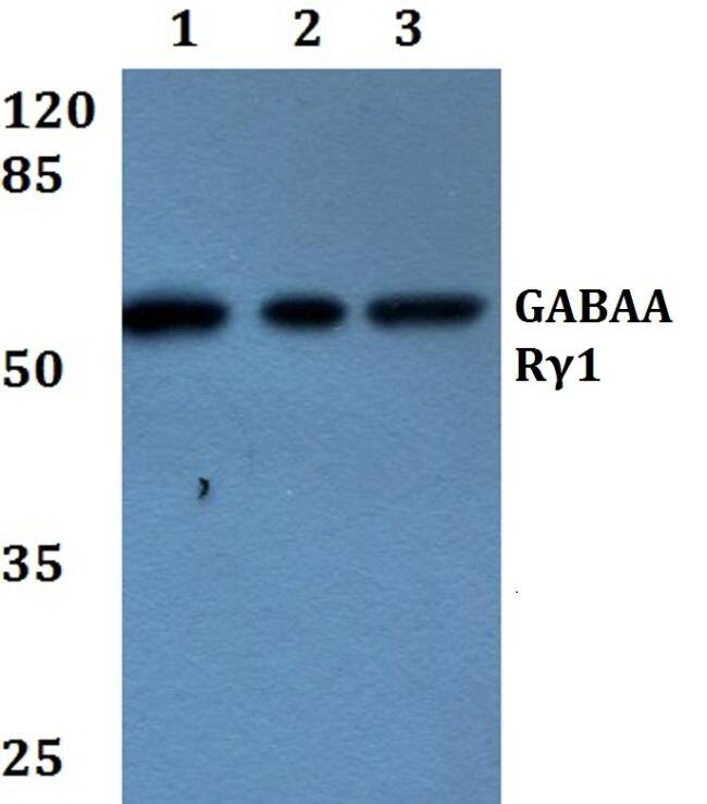 GABRG1 Antibody (PA5-36476) in Western Blot