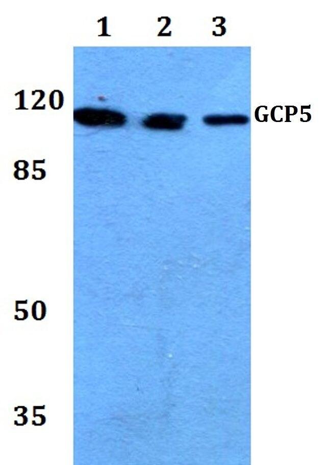 GCP5 Antibody (PA5-36478) in Western Blot
