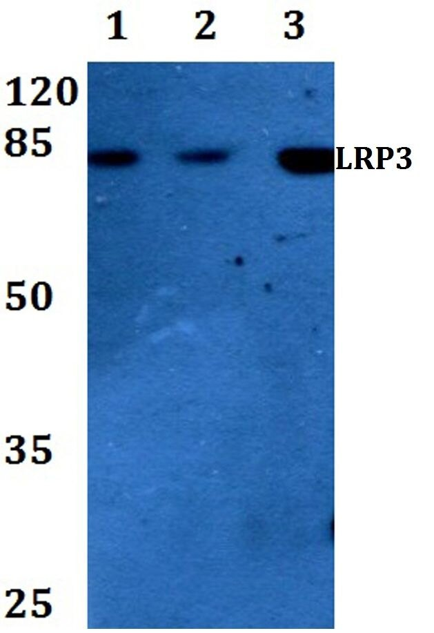 LRP3 Antibody (PA5-36486) in Western Blot