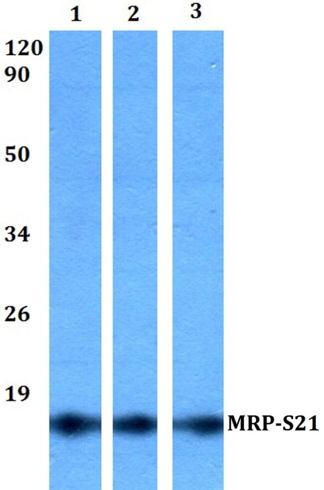 MRPS21 Antibody (PA5-36487) in Western Blot