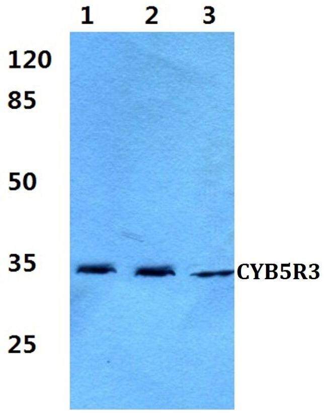 CYB5R3 Antibody (PA5-36492) in Western Blot