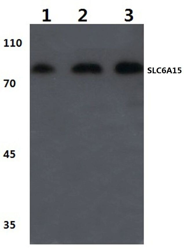 SLC6A15 Antibody (PA5-36502) in Western Blot