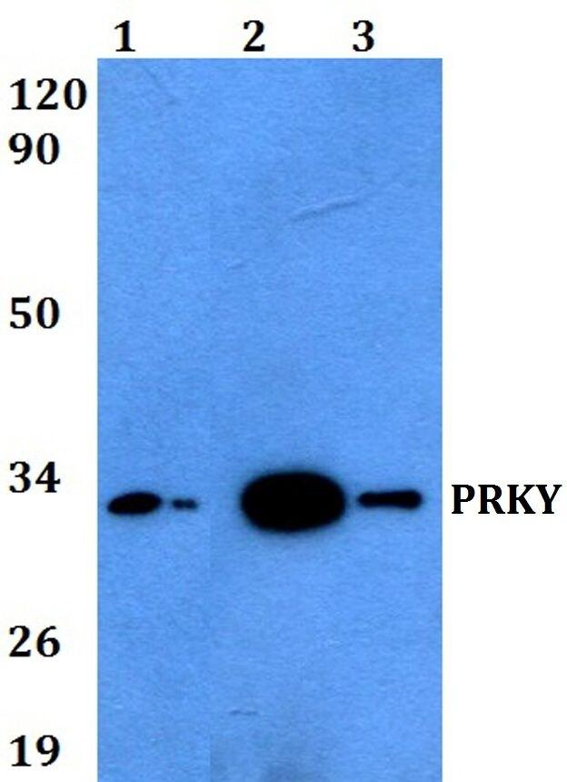 PRKY Antibody (PA5-36511) in Western Blot