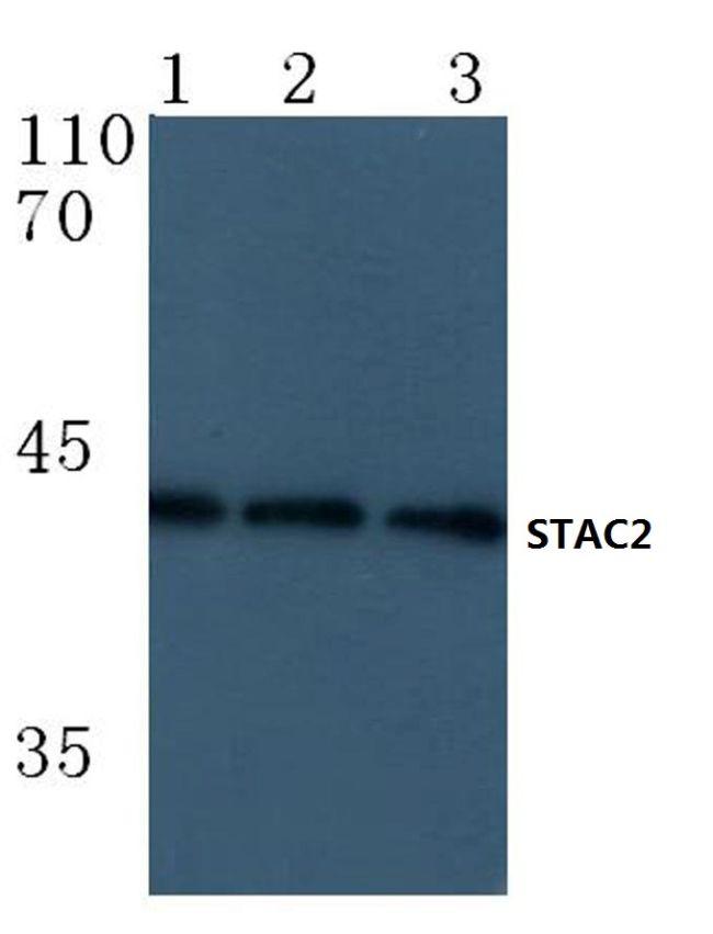 STAC2 Antibody (PA5-36512)