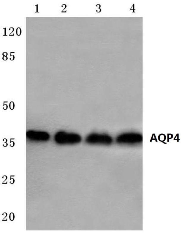 Aquaporin 4 Antibody (PA5-36521) in Western Blot