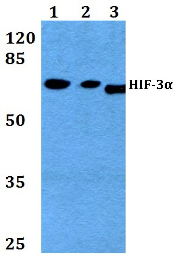 HIF3A Antibody (PA5-36531) in Western Blot