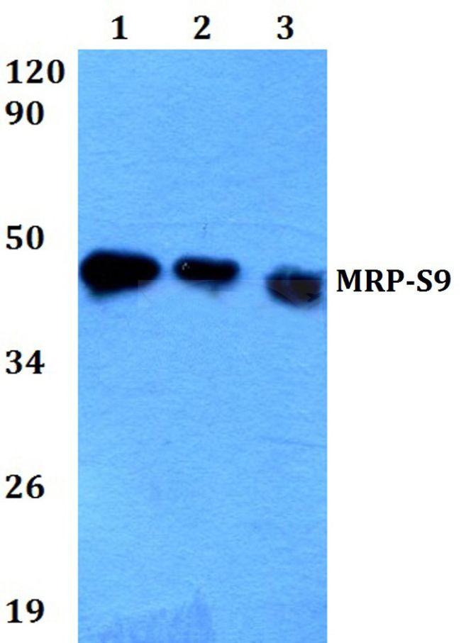 MRPS9 Antibody (PA5-36565) in Western Blot