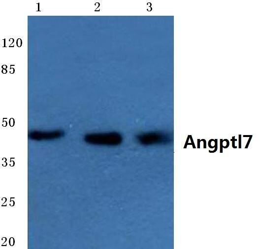 ANGPTL7 Antibody (PA5-36575) in Western Blot