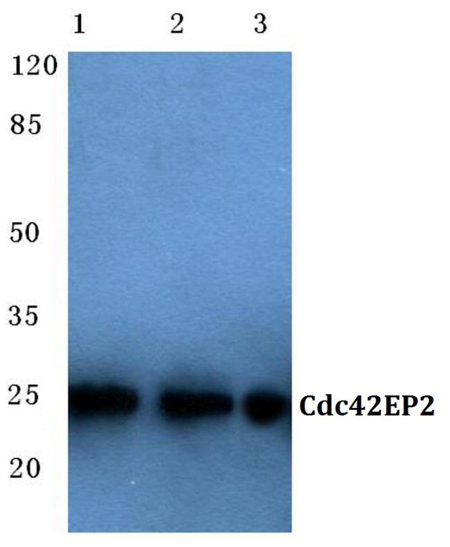Cdc42EP2 Antibody (PA5-36579) in Western Blot