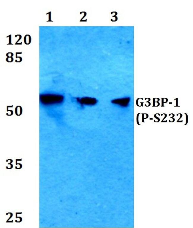 Phospho-G3BP1 (Ser232) Antibody (PA5-36645) in Western Blot