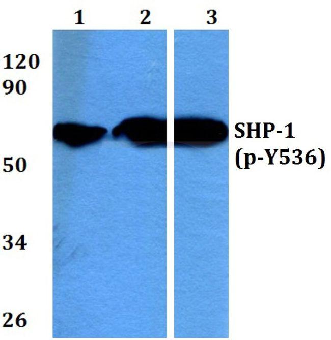 Phospho-SHP-1 (Tyr536) Antibody (PA5-36682) in Western Blot