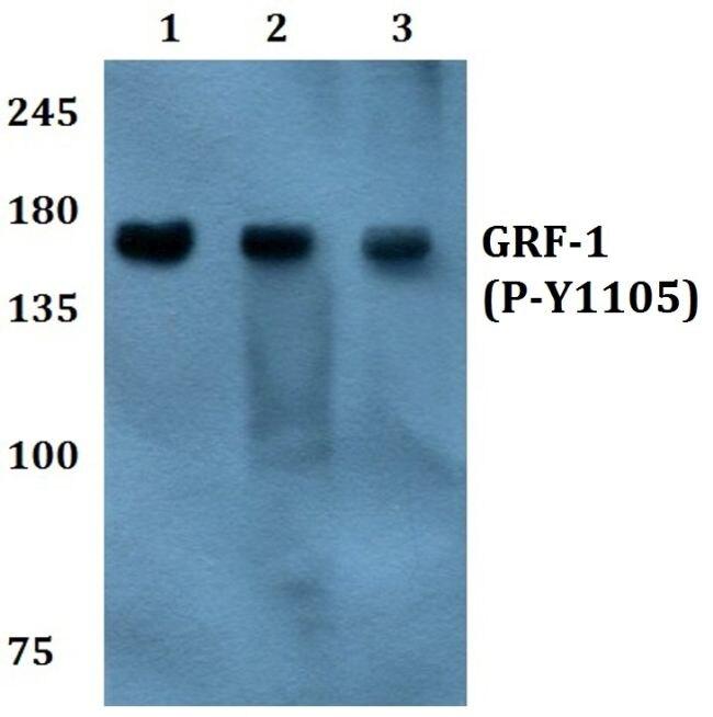 Phospho-GRF-1 (Tyr1105) Antibody (PA5-36713) in Western Blot