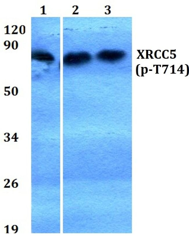 Phospho-Ku80 (Thr714) Antibody (PA5-36720) in Western Blot