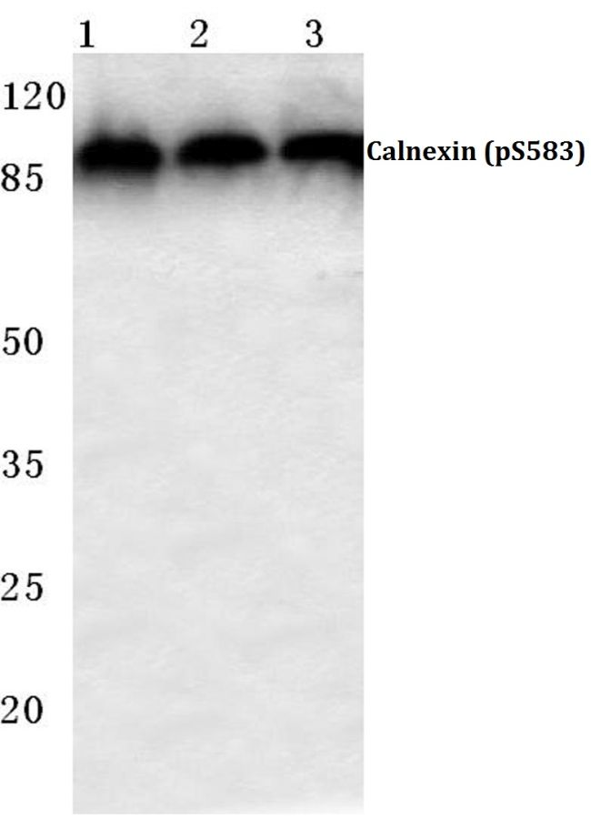 Phospho-Calnexin (Ser583) Antibody (PA5-36733) in Western Blot