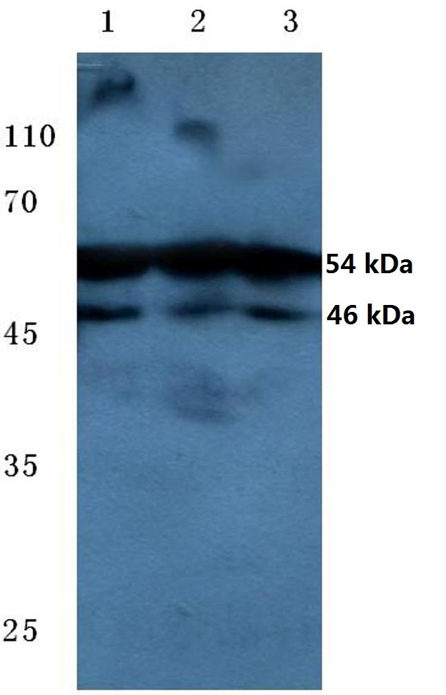 Phospho-JNK1/JNK2/JNK3 (Thr183, Tyr185) Antibody (PA5-36753)