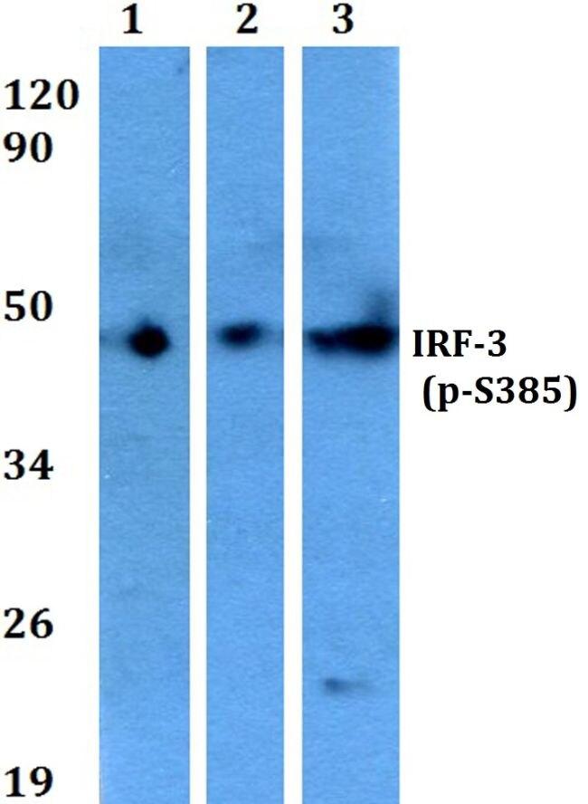 Phospho-IRF3 (Ser385) Antibody (PA5-36775) in Western Blot