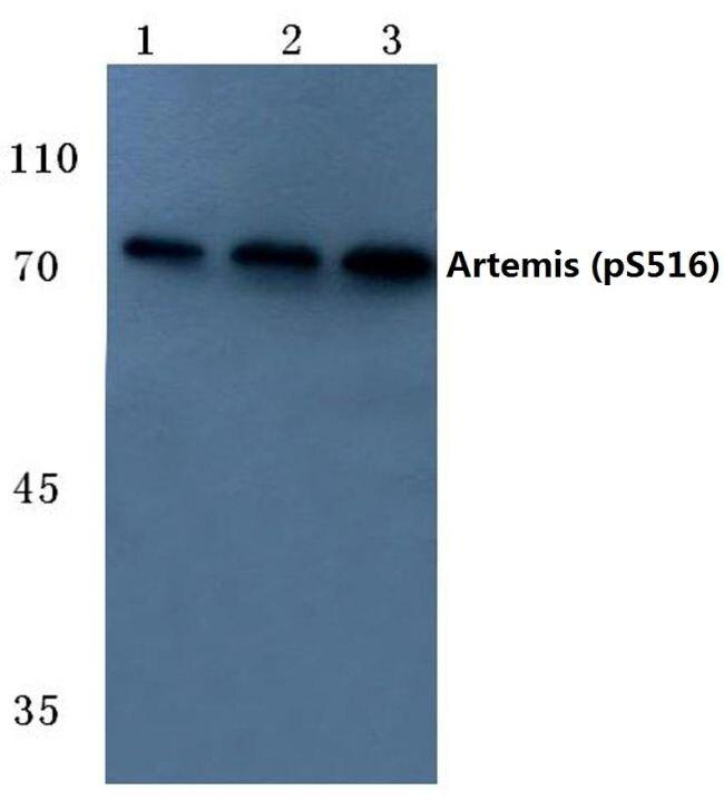 Phospho-Artemis (Ser516) Antibody (PA5-36778) in Western Blot