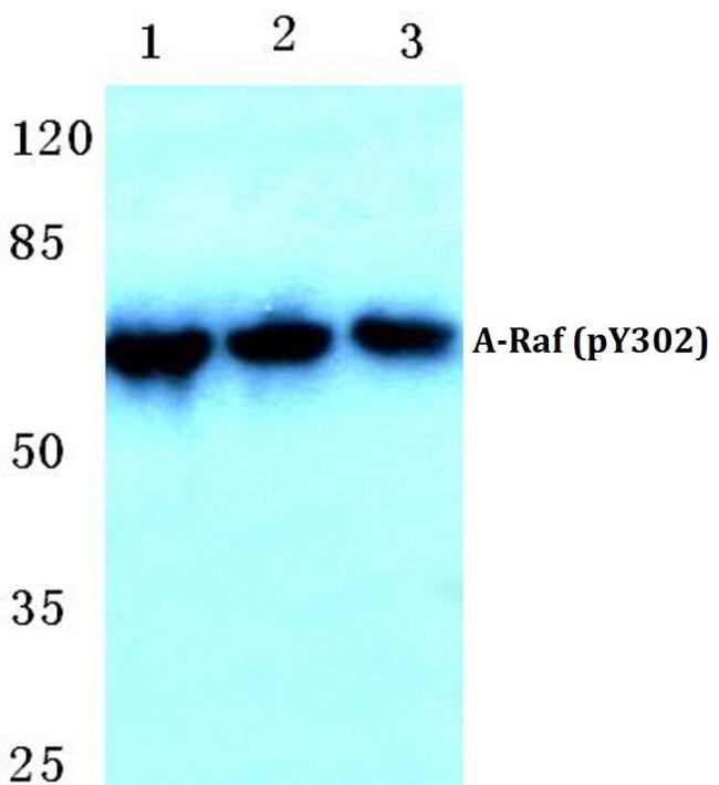 Phospho-A-Raf (Tyr302) Antibody (PA5-36783)