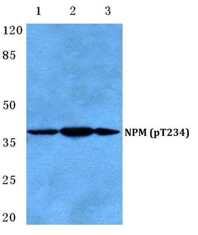 Phospho-NPM1 (Thr234) Antibody (PA5-36786)