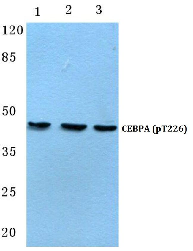 Phospho-C/EBP alpha (Thr226) Antibody (PA5-36789) in Western Blot