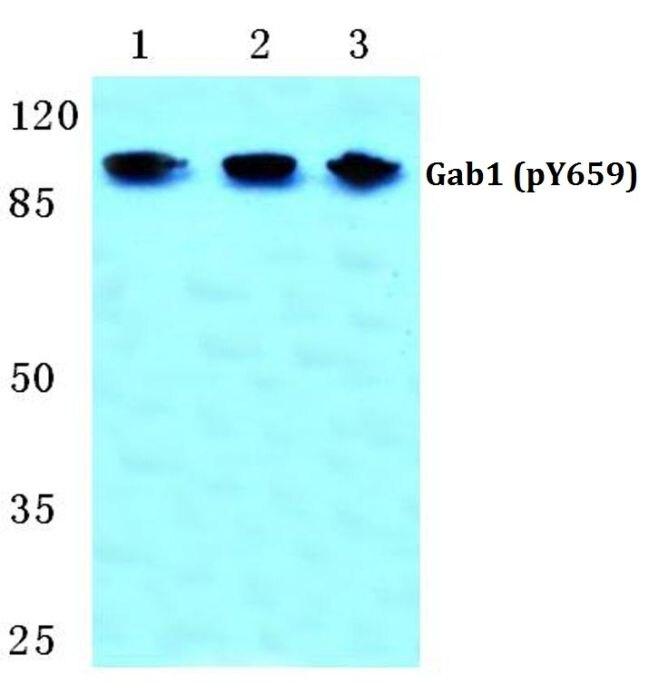 Phospho-GAB1 (Tyr659) Antibody (PA5-36806) in Western Blot