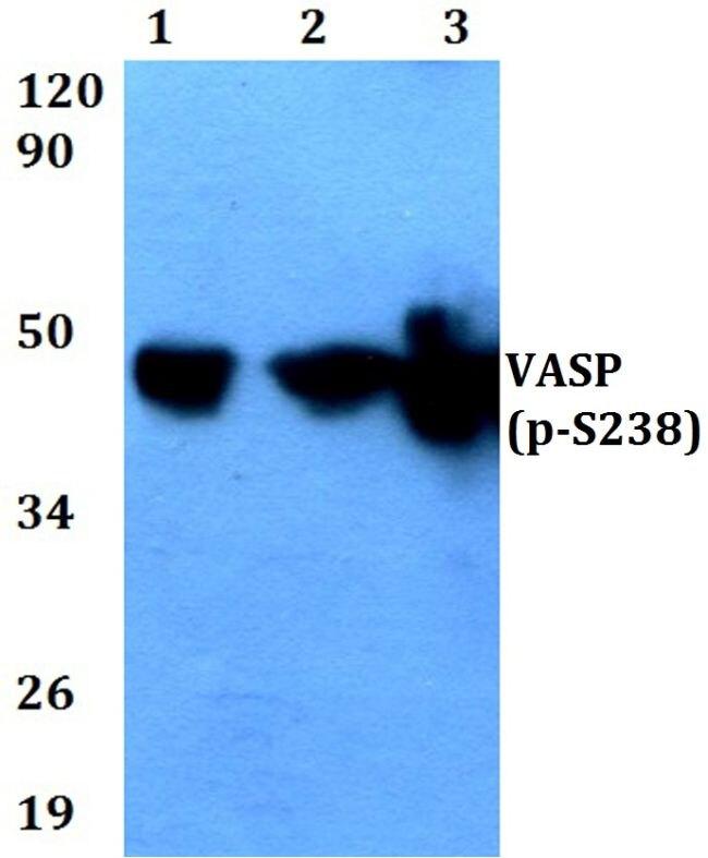 Phospho-VASP (Ser238) Antibody (PA5-36820) in Western Blot