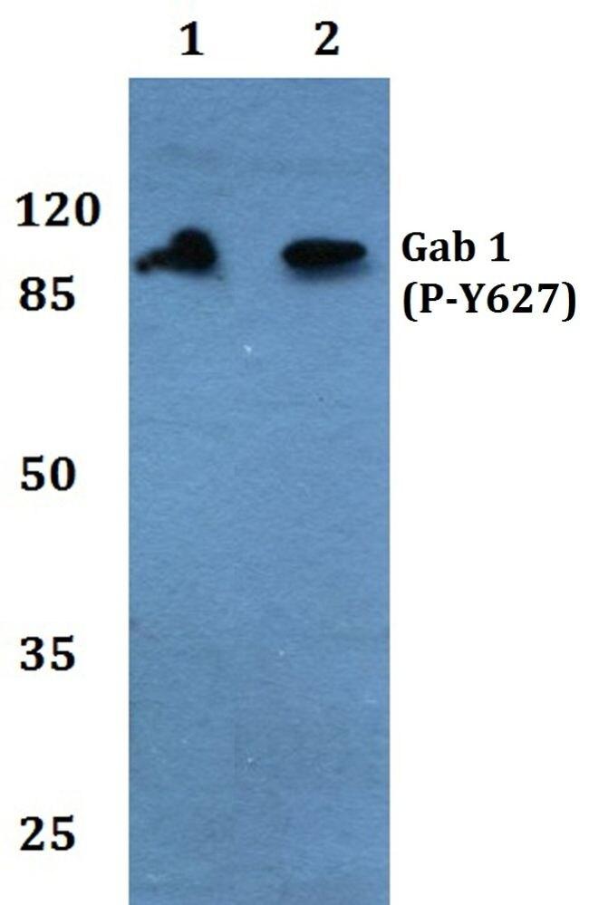 Phospho-GAB1 (Tyr627) Antibody (PA5-36846) in Western Blot