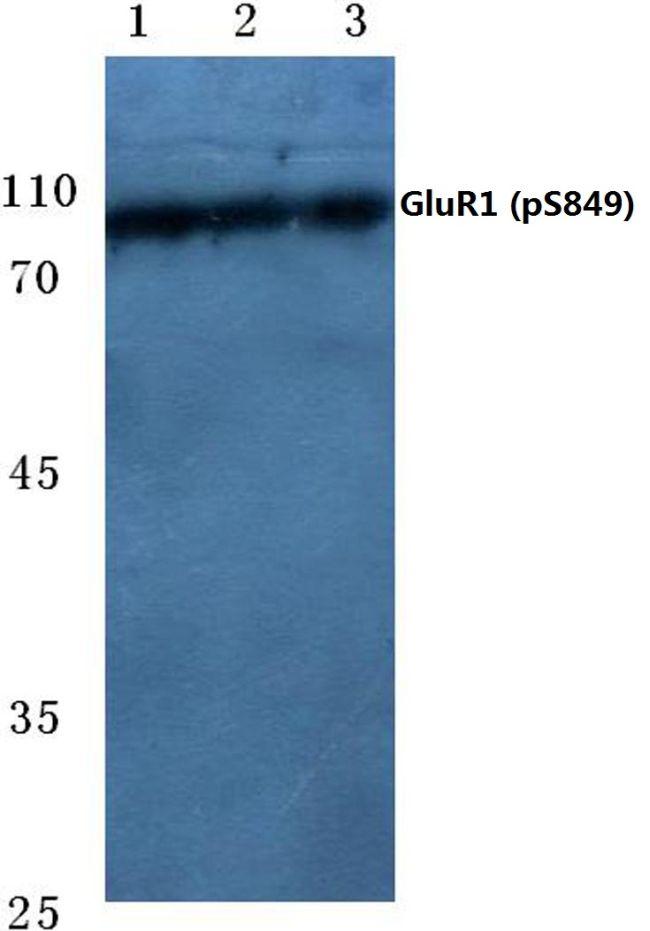 Phospho-GluR1 (Ser849) Antibody (PA5-36848)