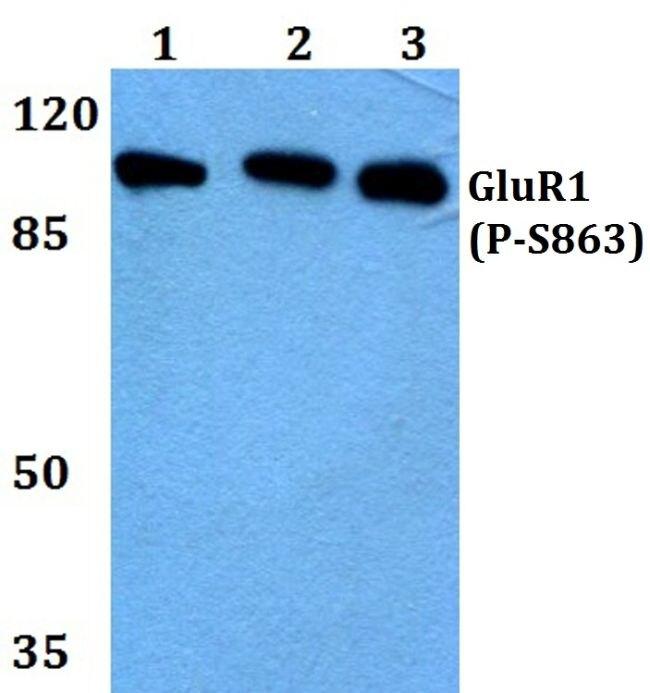 Phospho-GluR1 (Ser863) Antibody (PA5-36849) in Western Blot