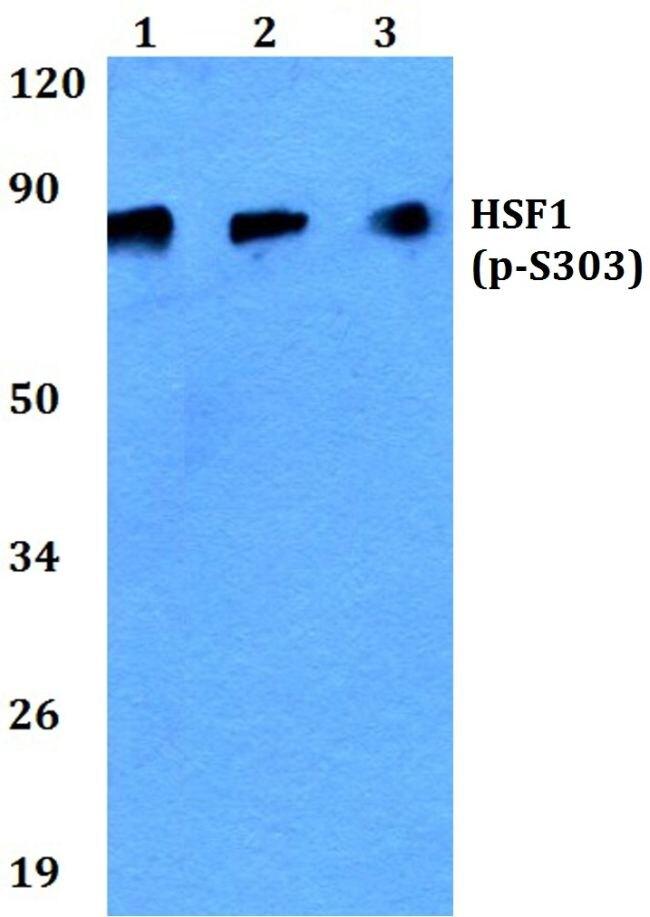 Phospho-HSF1 (Ser303) Antibody (PA5-36851) in Western Blot