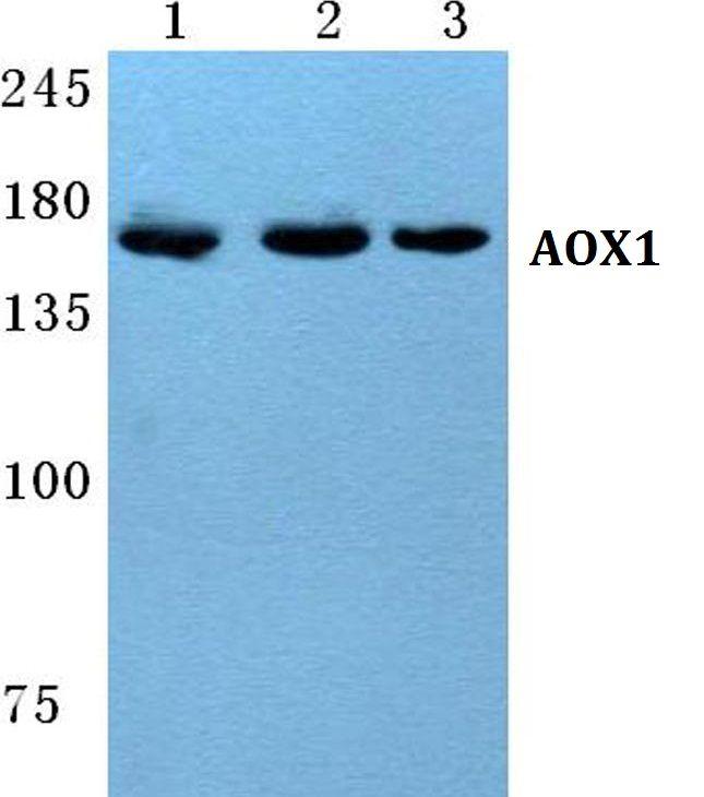 AOX1 Antibody (PA5-36922)