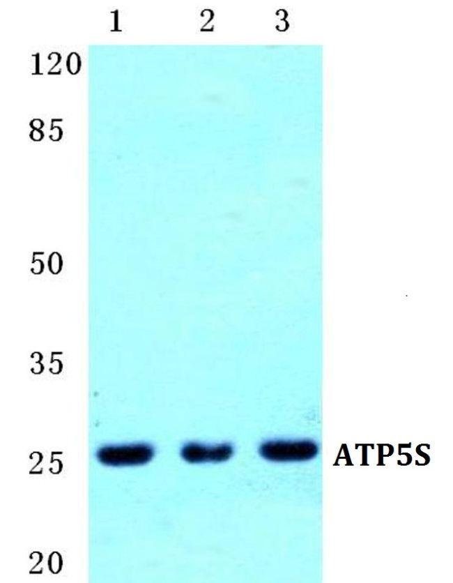 ATP5S Antibody (PA5-36926) in Western Blot