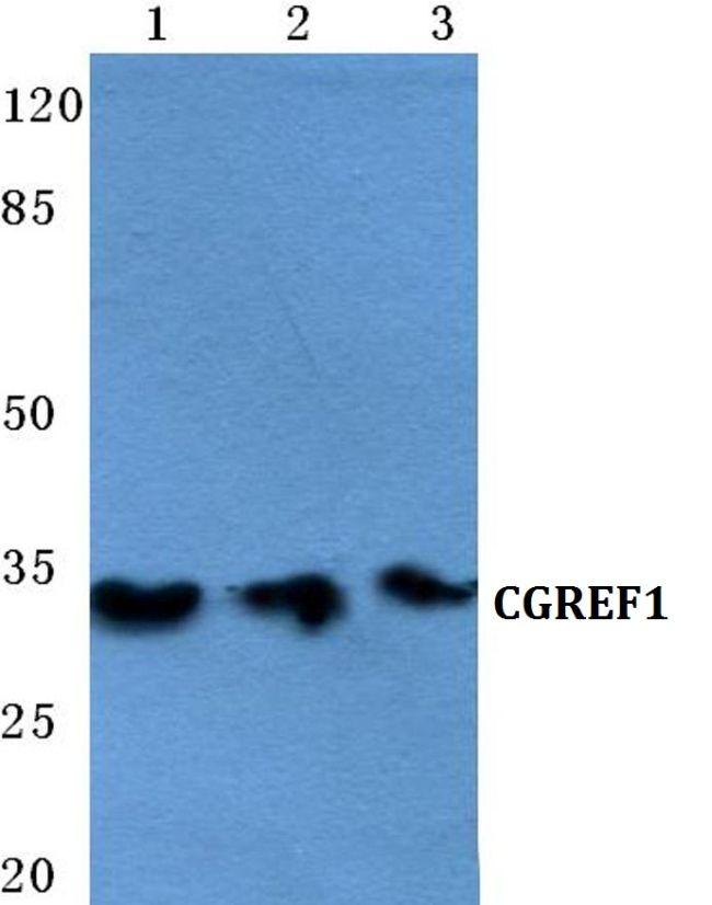 CGREF1 Antibody (PA5-36933) in Western Blot